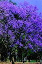 Vereadores aprovam Jacarandá como árvore símbolo de Ibiúna